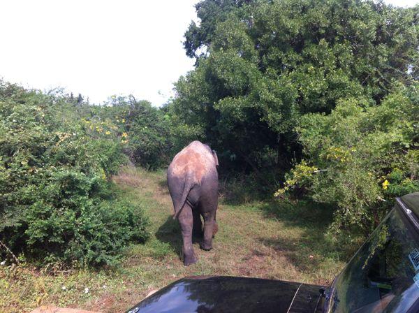 20 fev - Safari Yala THE elephant (3).JPG