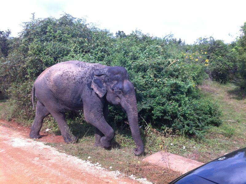 20 fev - Safari Yala THE elephant (2).JPG