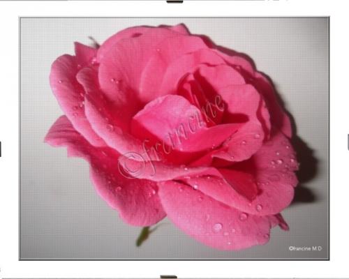 FMD05 La rose.jpg
