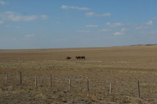 3 chameaux.jpg