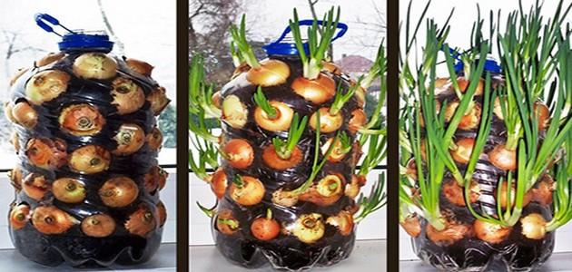 Comment faire pousser ind finiment des oignons en int rieur eleutheria - Faire pousser des oignons ...