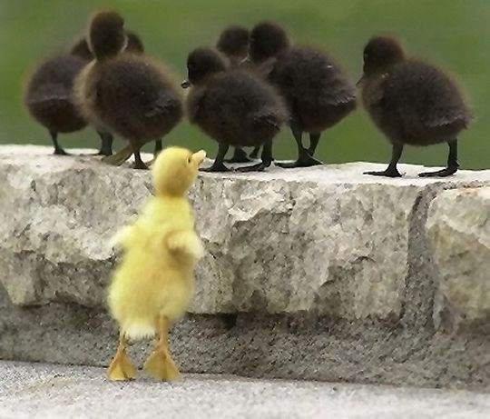 vilain petit canard.jpg