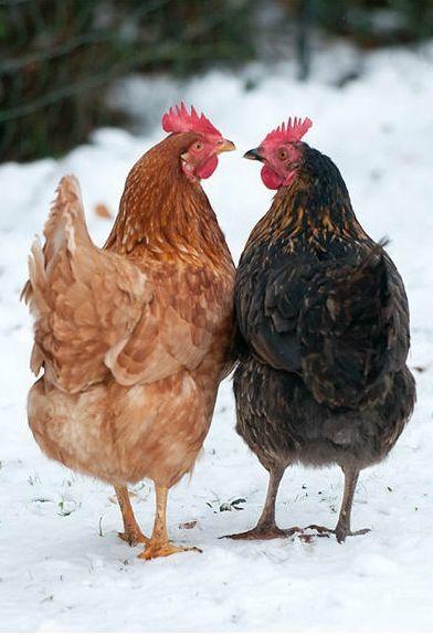 Deux poules.jpg