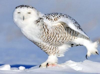 Quand-un-harfang-des-neiges-prend-la-pose.jpeg