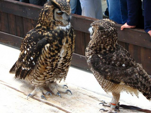 78-cape-eagle-owl-bubo-capensis-on-right-and-spotted-eagle-owl-on-left.jpeg