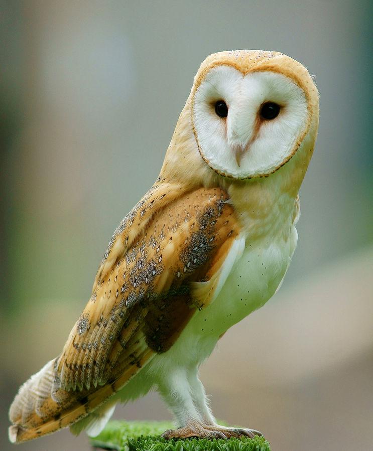 743px-Tyto_alba_-British_Wildlife_Centre_Surrey_England-8a_(1).jpg