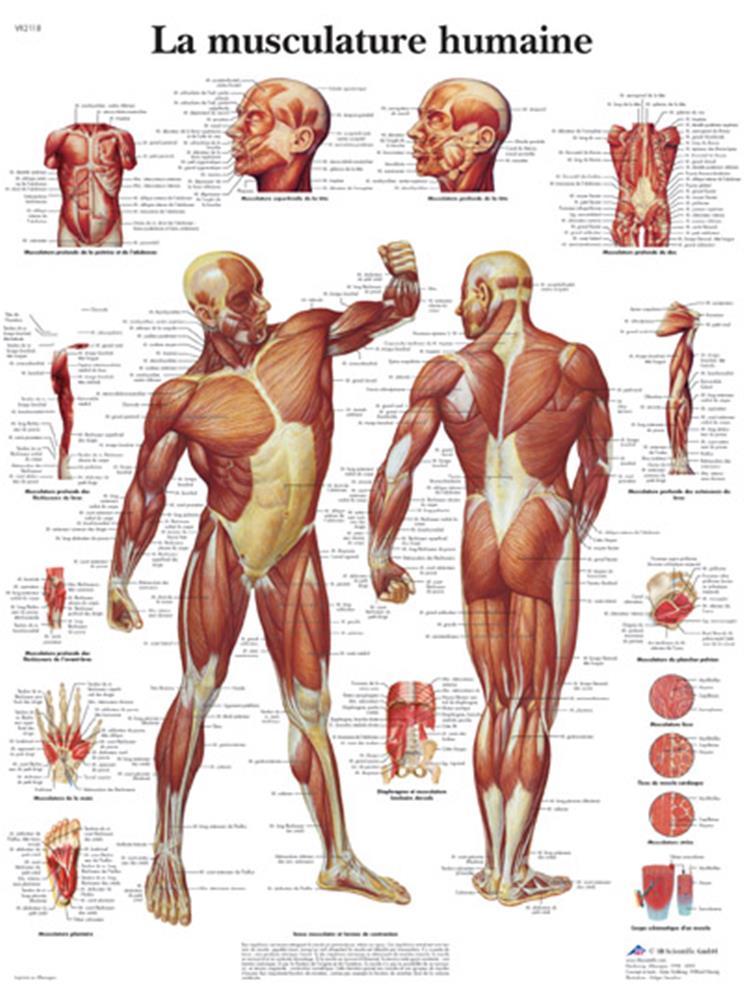 I-Grande-11887-planche-anatomique-la-musculation.net.jpg