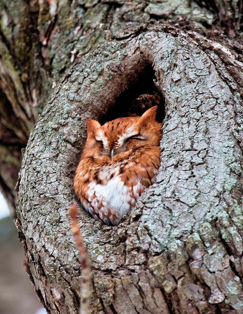 e-screech-owl1-1.jpg