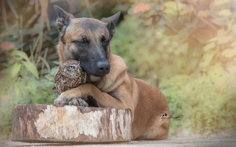 shephard-owl3.jpg