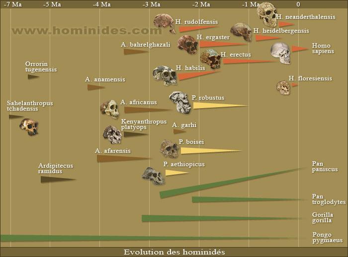 evolution-des-hominides.jpg