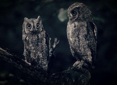 Chouettes et Hiboux -Owls-