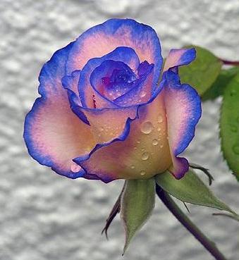 Rose ourlée bleu.jpg