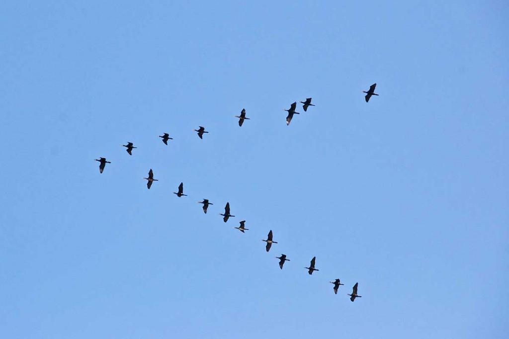 Migration de grues.jpg