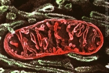 ob_1909ea_mitochondrie.jpg