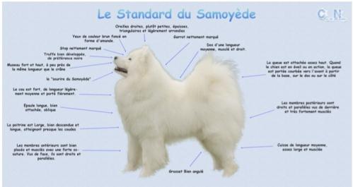 Samoyède.jpg