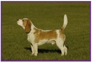 Beagle3-1.jpg
