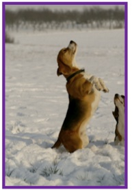 Beagle7-1.jpg
