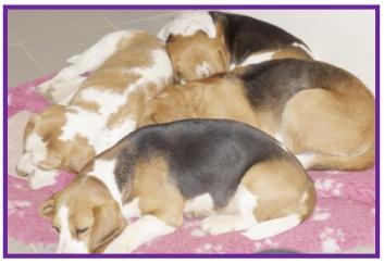 Beagle8-1.jpg