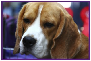 Beagle1.jpg