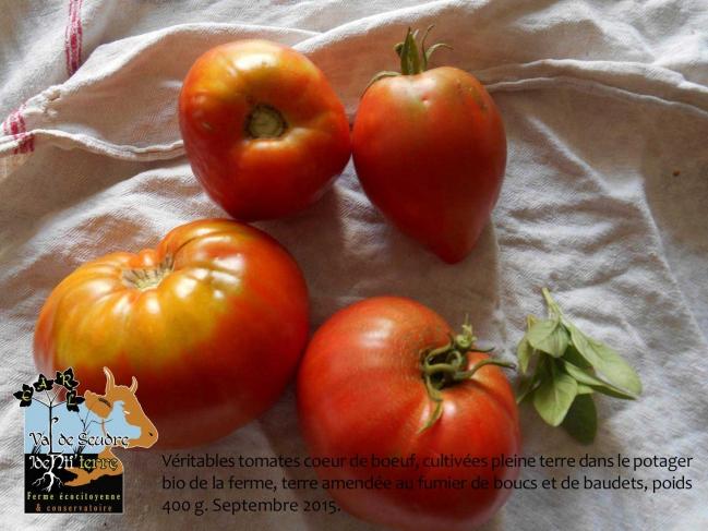 groupe-de-tomates.jpg