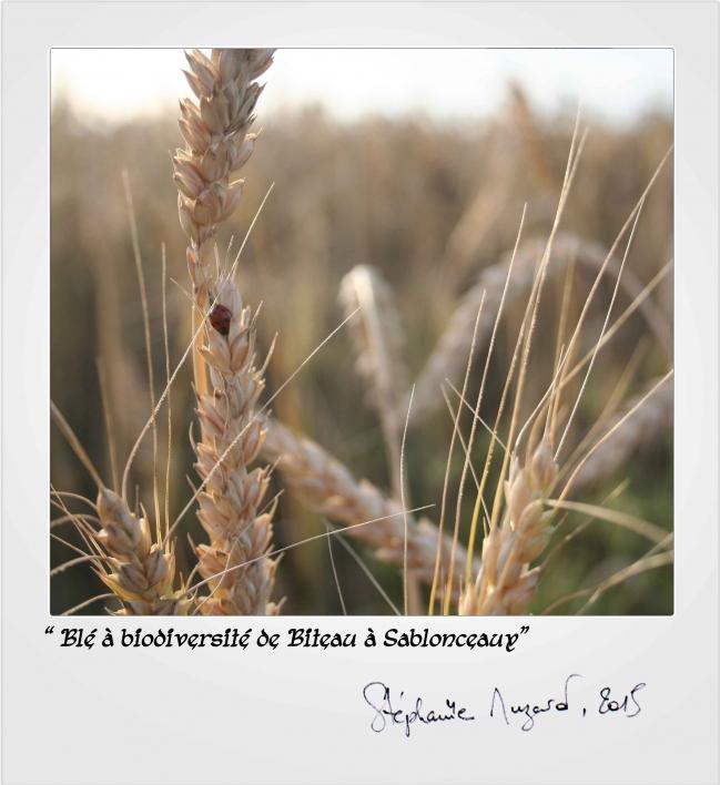 blé-à-biodiversité-de-biteau.jpg