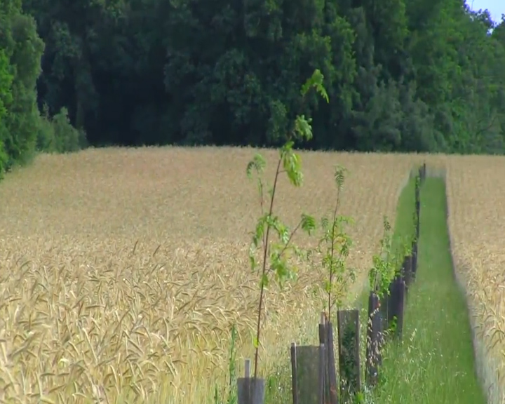 seigle agroforesterie.jpg