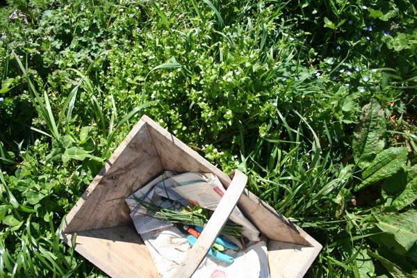 stellaire et salades sauvages (3).jpg