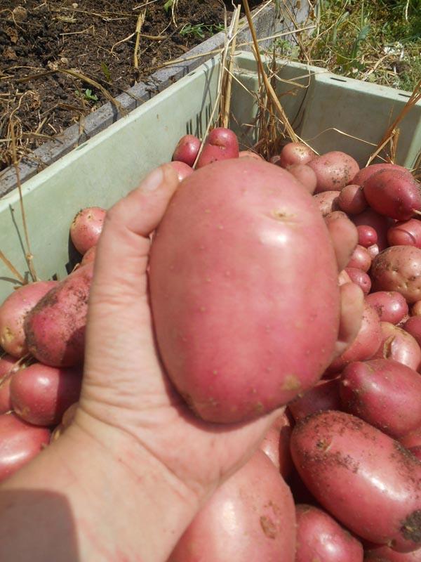 récolte patate kuroda 2017 (8).jpg