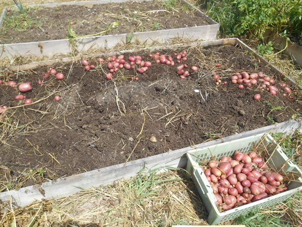 récolte patate kuroda 2017 (2).jpg