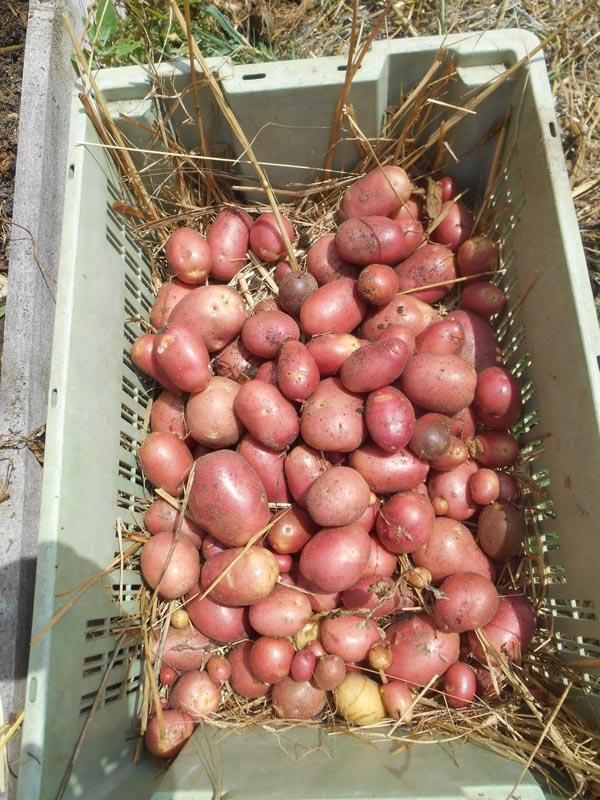 récolte patate kuroda 2017 (3).jpg