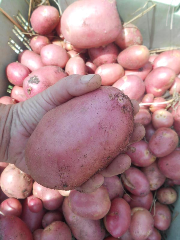 récolte patate kuroda 2017 (5).jpg