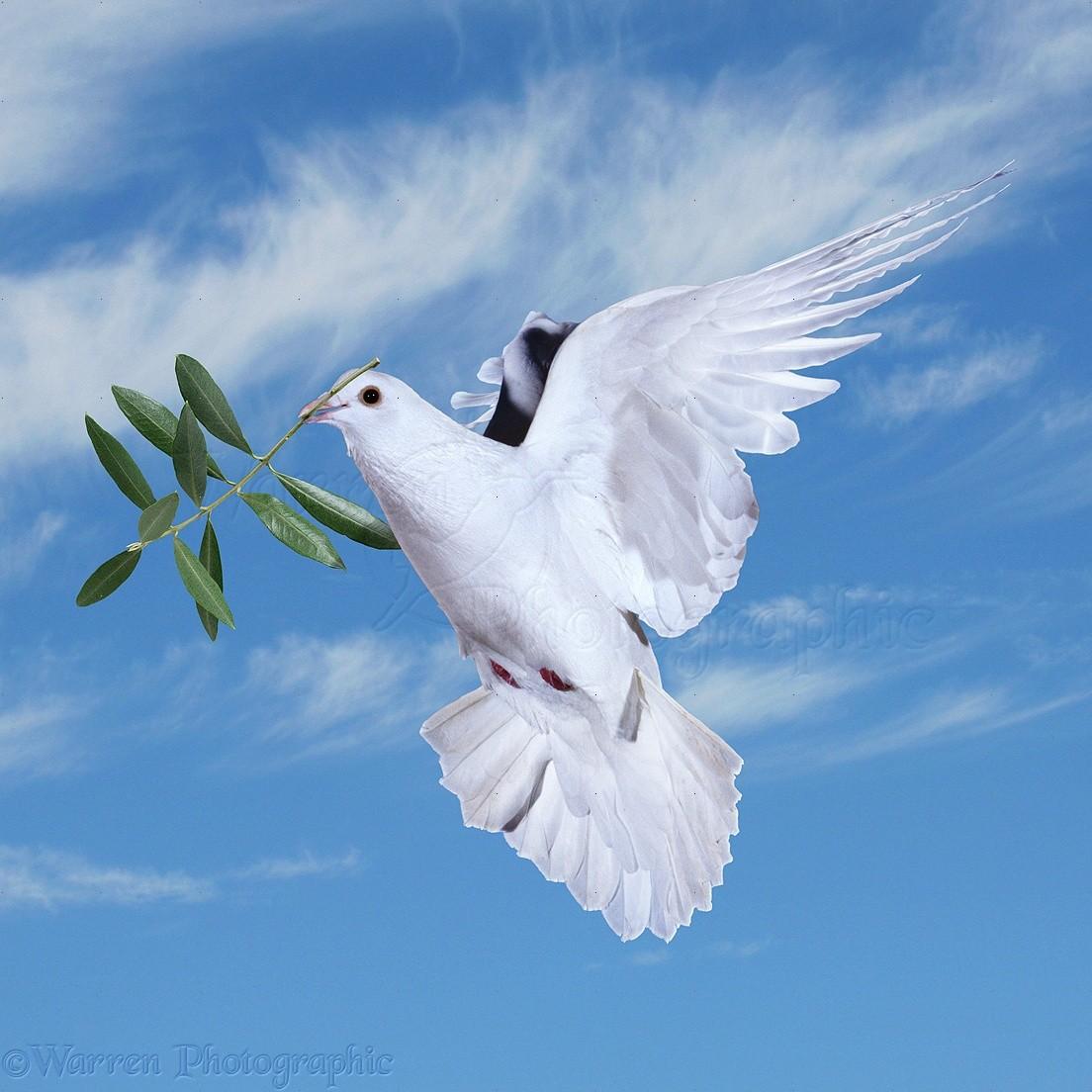 pourquoi la colombe est elle le symbole de la paix istyablog pour savoir en toute. Black Bedroom Furniture Sets. Home Design Ideas