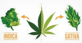 Cannabis Sativa.PNG