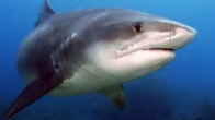 Requins.PNG