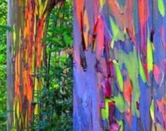 Eucalyptus deglupta.PNG