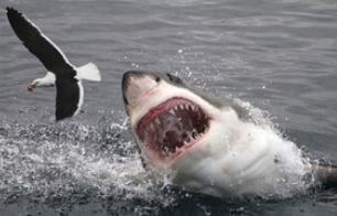 nourriture requin.PNG
