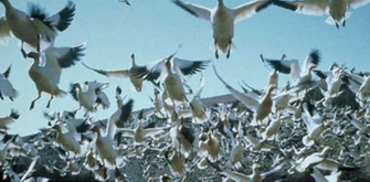Oiseaux migrateurs.PNG