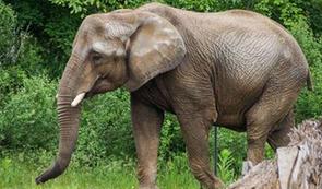 Eléphant d'Afrique.PNG