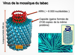 Virus mosaique tabac.PNG