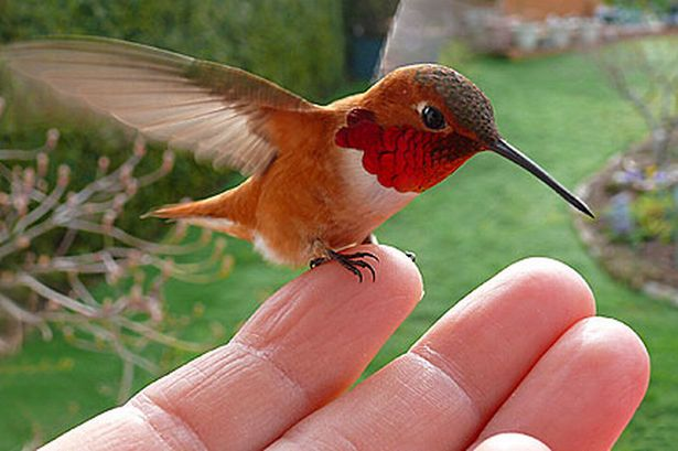 Red breasted hummingbird.jpg