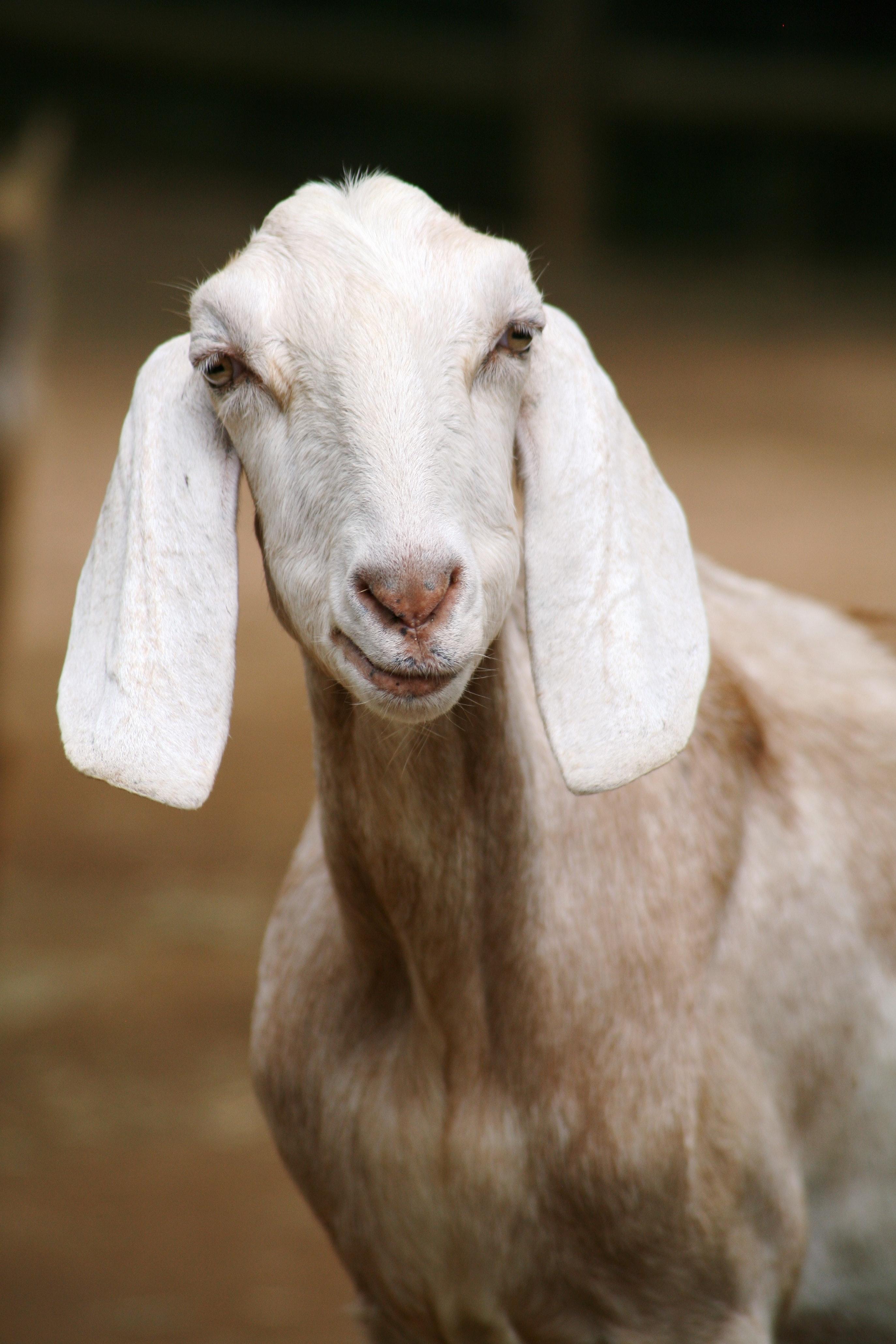 goat-58914.jpg