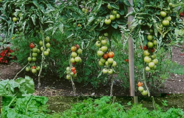 pieds de tomates.jpg