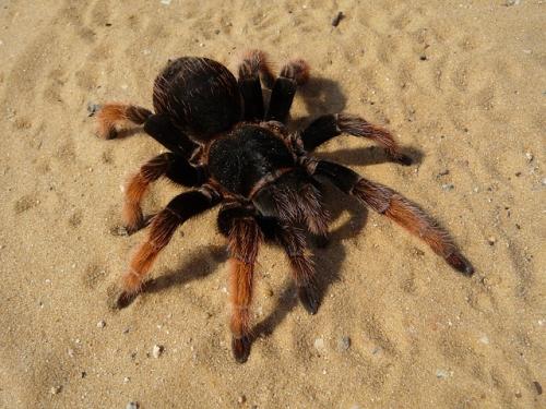 mygale sur sable