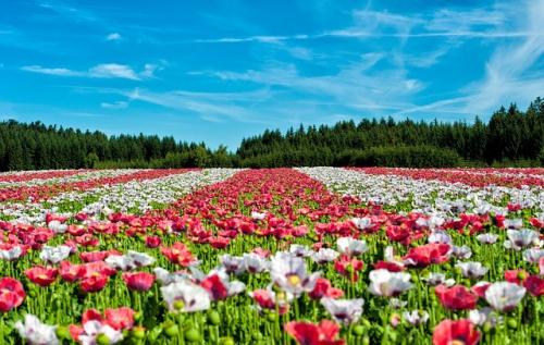 champs de fleurs