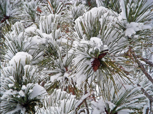Snowy Pine Needles.PNG