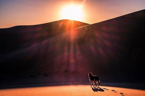Loup dans le désert - Copy.PNG