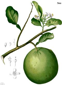 citron-anec-france-molecule-naturelle.png
