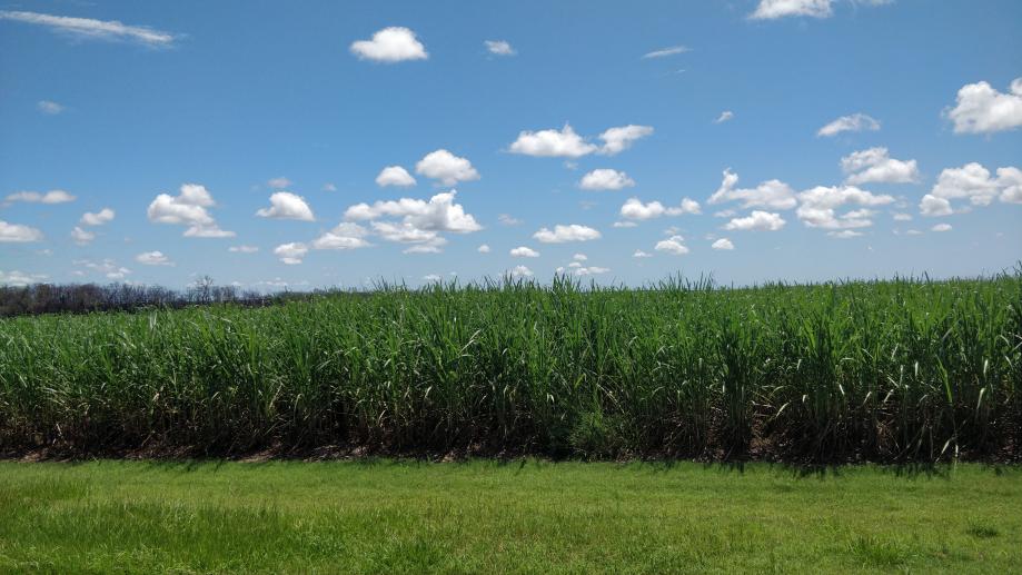 Plantations de canne à sucre