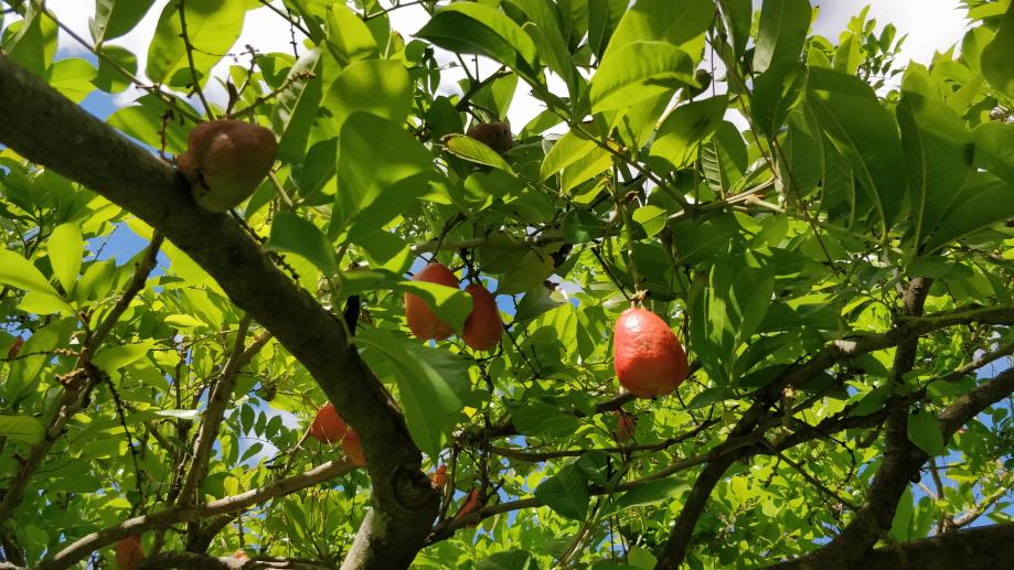 Fruits ressemblants à des poires, mais au goût exécrable !