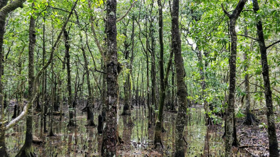 Au cœur de la mangrove